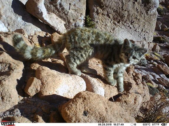 FOTO| Inédito hallazgo de un gato andino y su cría en el altiplano
